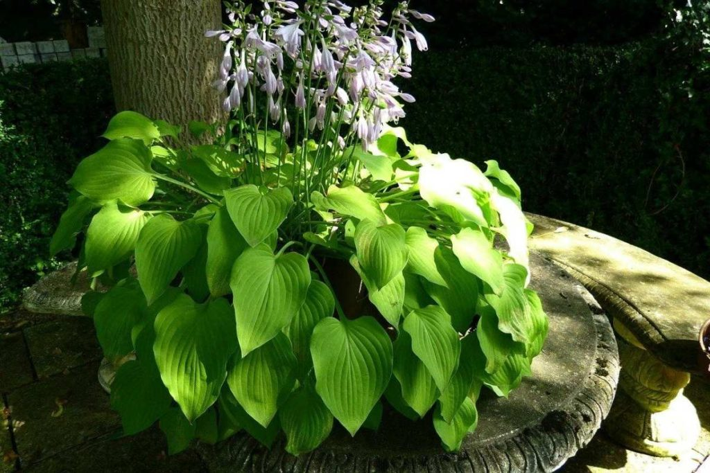 Hostas are perennials that thrive in shade