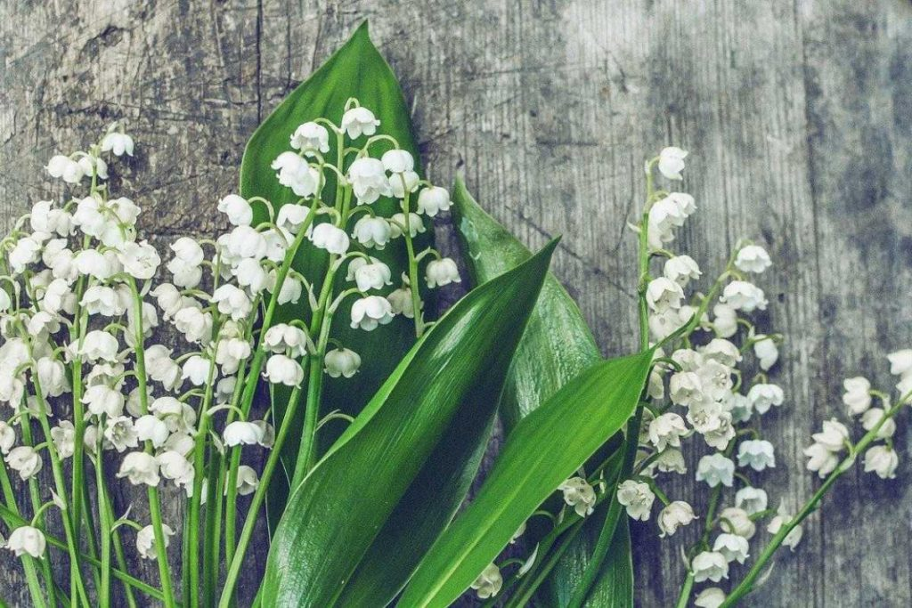 Lily of the Valley blooms add a sweet fragrance to your Johnson County yard.