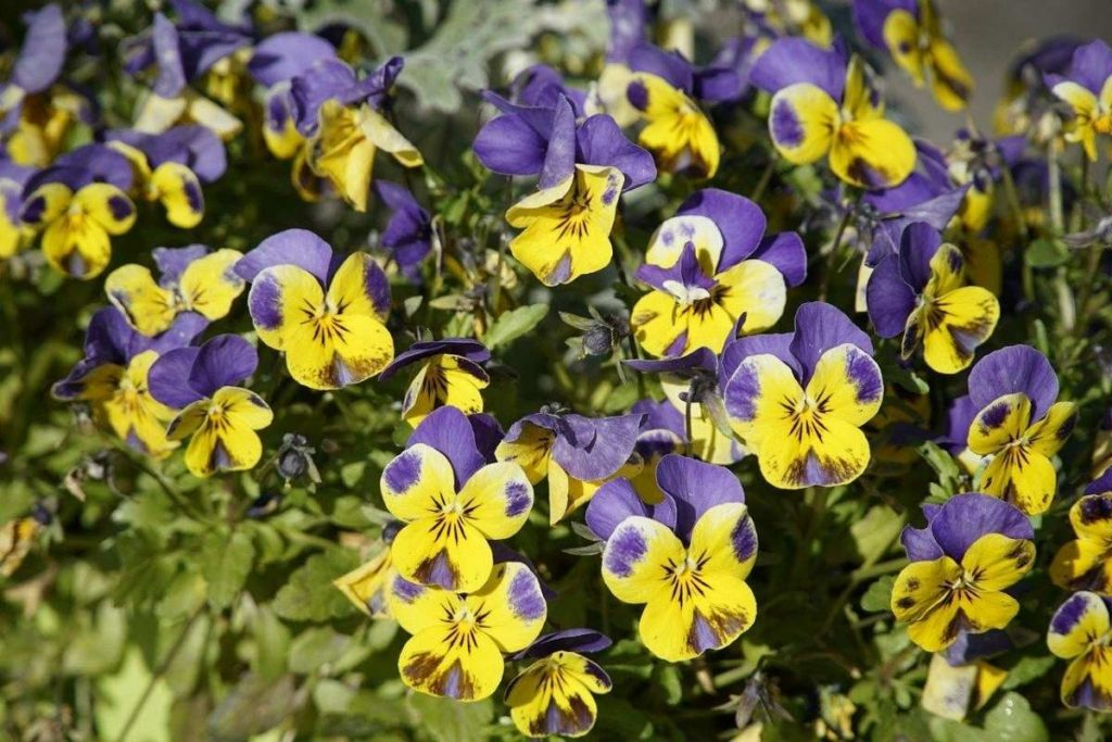 Violas are colorful flowering perennials with blooms in a rainbow of colors.