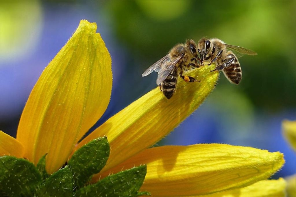 Bees on Yellow Petal